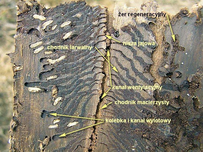 Naucz się żeru kornika drukarza. Milan Zubrik, Forest Research Institute - Slovakia, Slovak Republic i autor