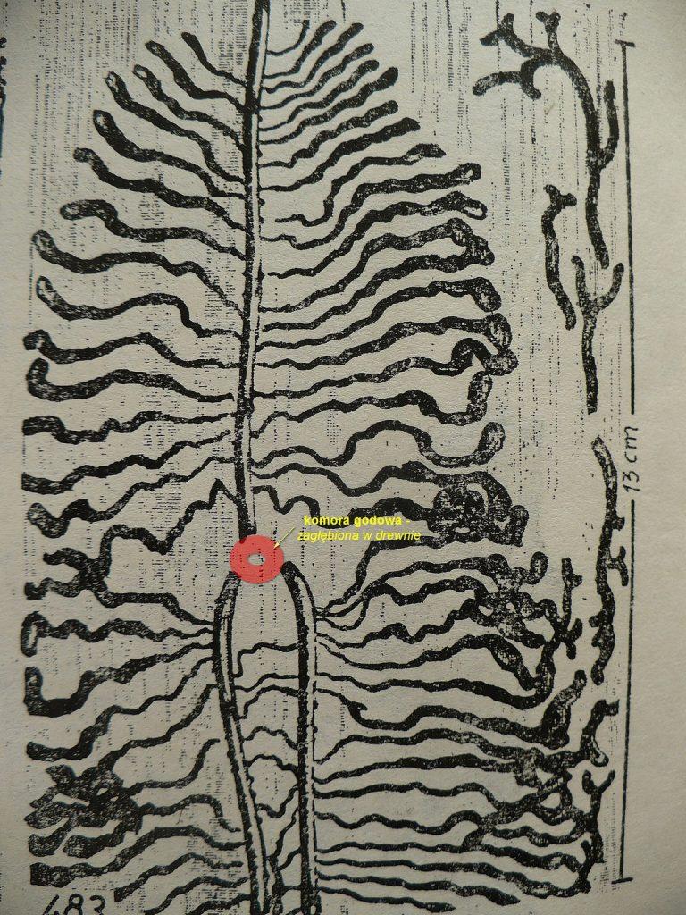 Tajemnicze ślady? To żer kornika. Owady leśne- A. Brauns, PWRiL 1975