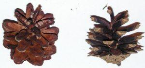 szyszki sosny zwyczajnej
