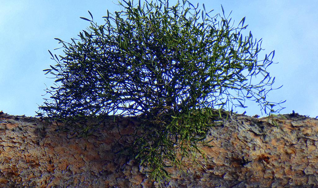 To nie drzewo. To jemioła na sośnie z perspektywy 90 stopni