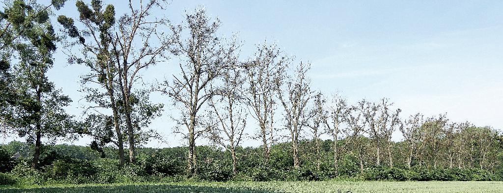 Martwa i zamierająca aleja topolowa w okolicach Grudziądza