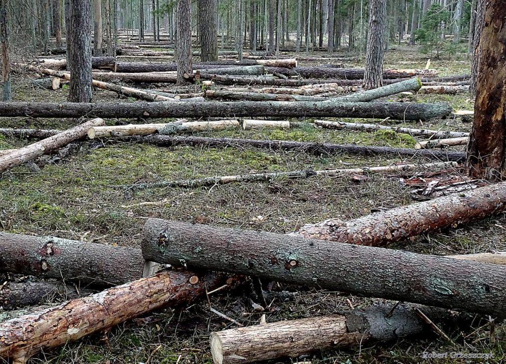 Martwe Drewno na terenie Nadleśnictwa Hajnówka