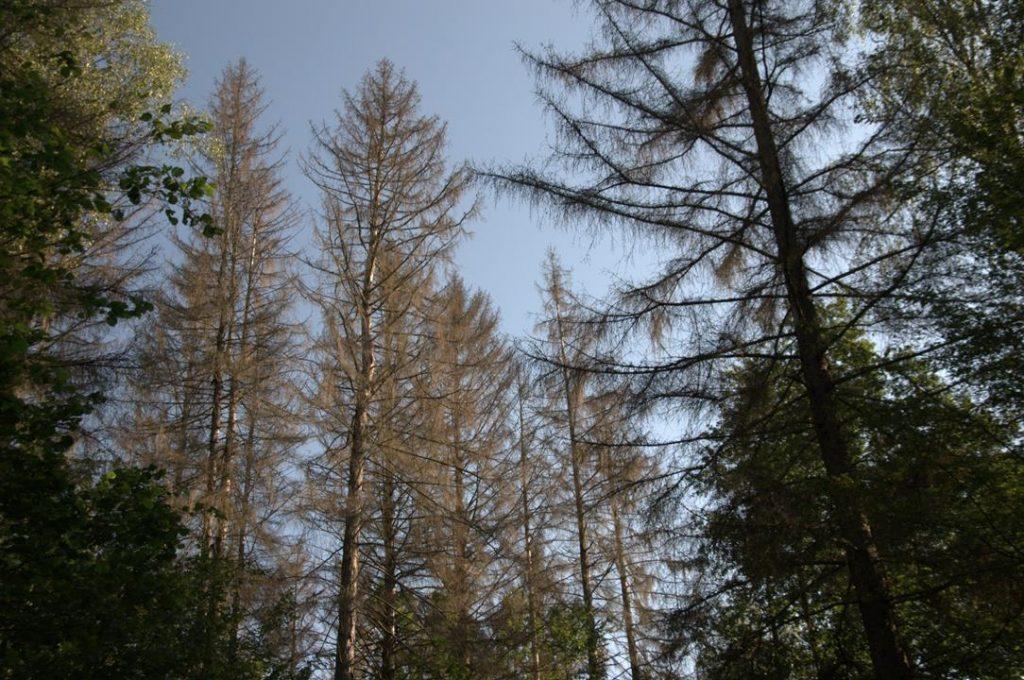 Zniszczony drzewostan świerkowy w Nadleśnictwie