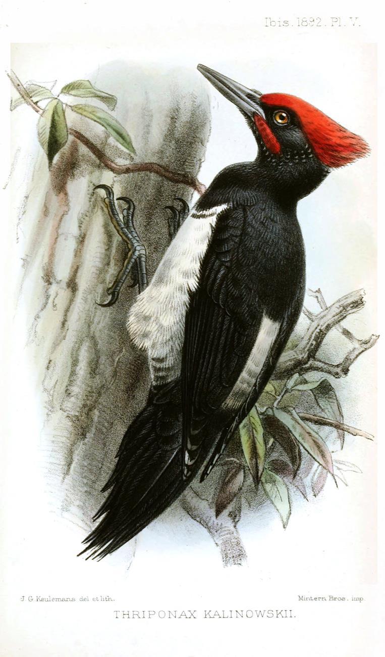 Tristam's woodpecker (Dryocopusjavensis richardsi)