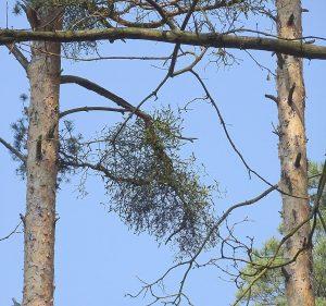Jemioła na gałęziach sosny zwyczajnej