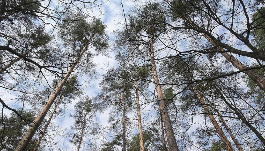 Stan klęski - zagęszczenie jemioły w drzewostanie sosny zwyczajnej Nadleśnictwa Smardzewice