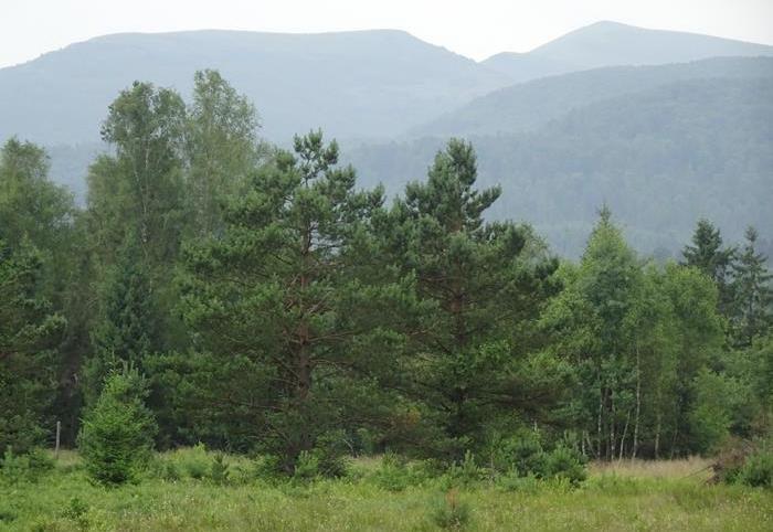 widok na sosnę porastającą torfowisko na Tarnawie Wyżnej, dolina Sanu, Bieszczadzki PN