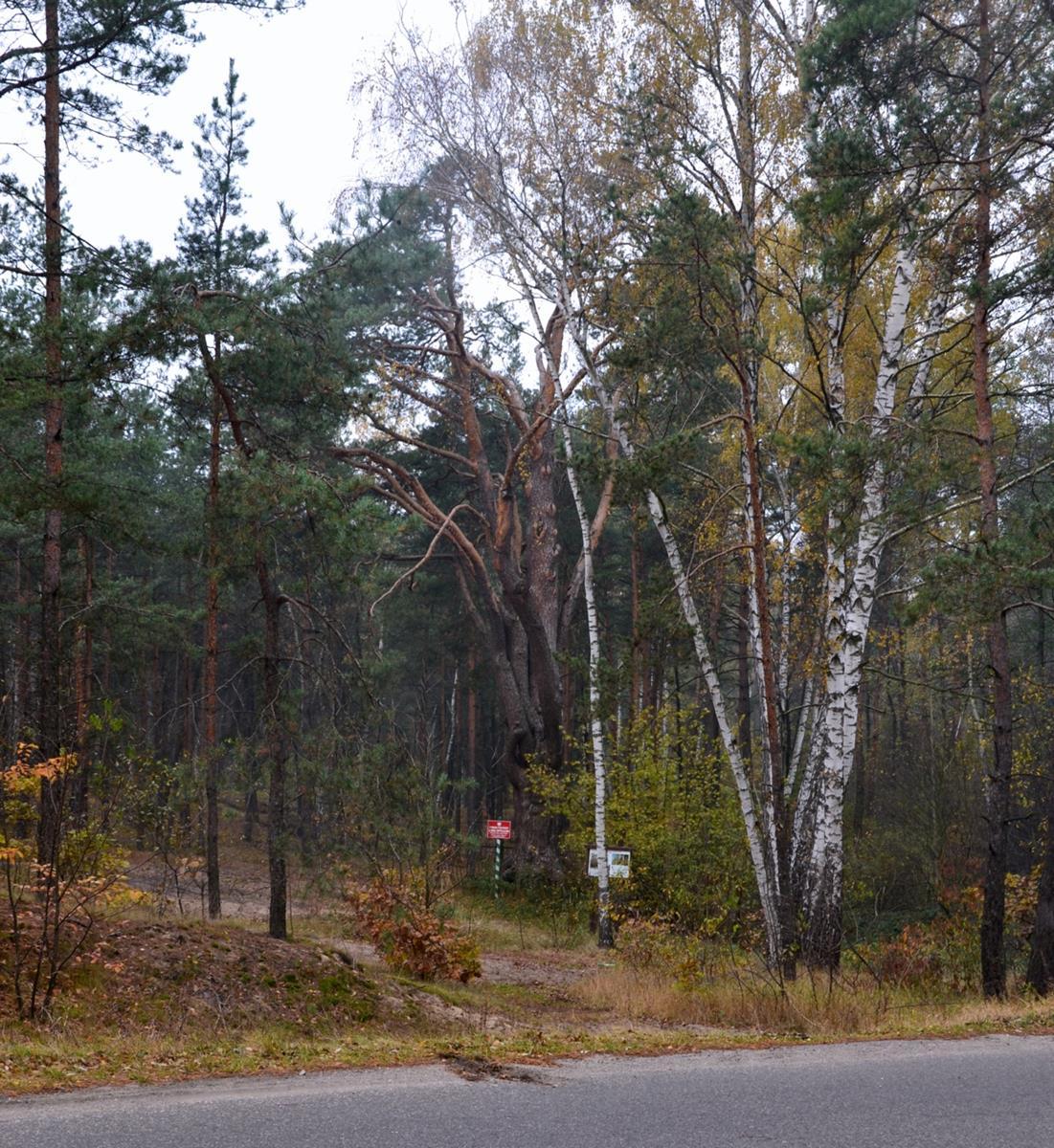 Najstarsza sosna w Polsce rośnie obok ruchliwej drogi