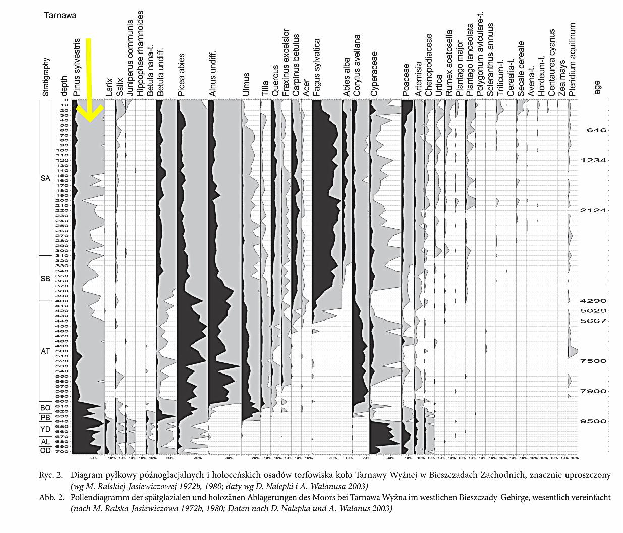 Diagram pyłkowy osadów późnoglacjalnych i holoceńskich torfowiska koło Tarnawy Wyżnej, Bieszczady, dolina Sanu; wg M.Ralskiej-Jasiewiczowej 1972, 1980, daty wg D.Nalepki i A.Walanusa