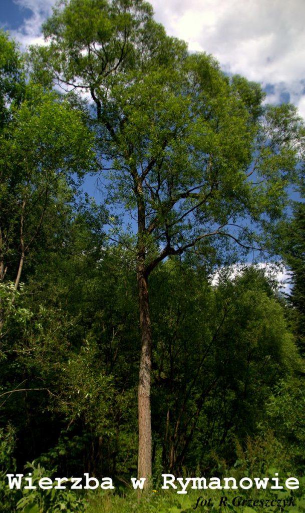 Wierzba w Rymanowie - jak inne lekkonasienne wyklęta z Lasu