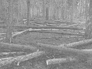 Mnożone w sposób gospodarczy zasoby martwego drewna - obraz zaprzaństwa i obskurantyzmu