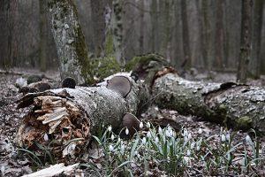 Kwitnące śnieżyczki