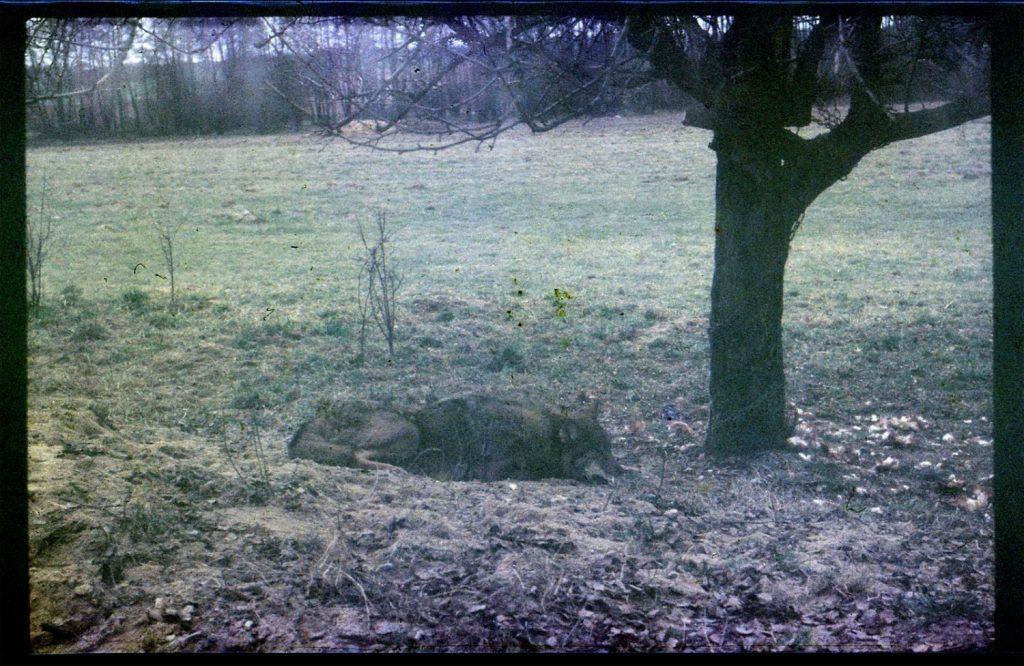 Pojmany w lesie wilk