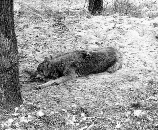 Wilk uwiązany łańcuchem do drzewa