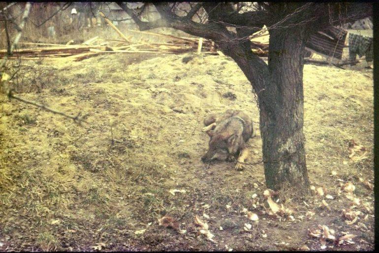 Łańcuchem do drzewa uwiązany